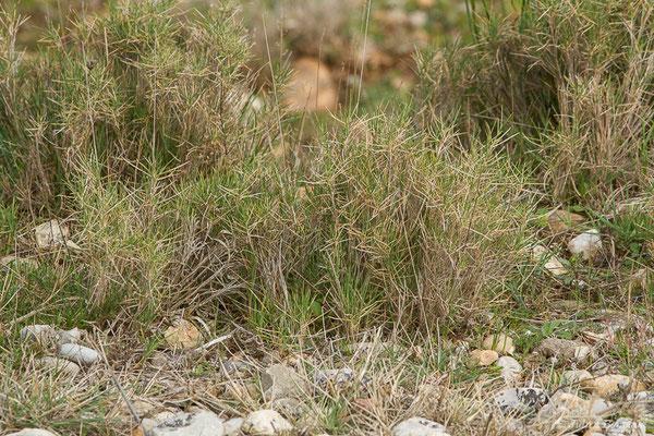 Brachypode rameux (Brachypodium retusum) (RNN des Coussouls de Crau, Saint-Martin-de-Crau, France, le 08/02/2021)