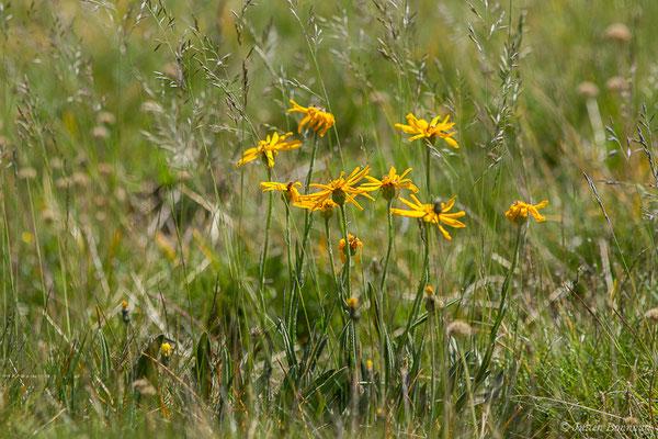 Séneçon doronic (Senecio doronicum) (Col du Pourtalet, Laruns (64), France, le 06/07/2019)