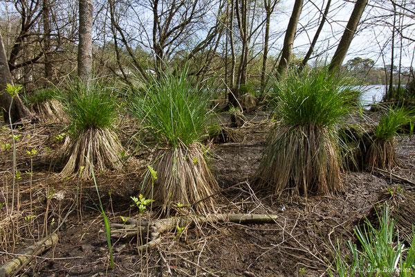 Laiche paniculée (Carex paniculata) (Anglet (64), France, le 06/04/2018)