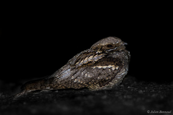 Engoulevent d'Europe (Caprimulgus europaeus) (mâle adulte) (Mazerolles (40), France, le 14/05/2020)