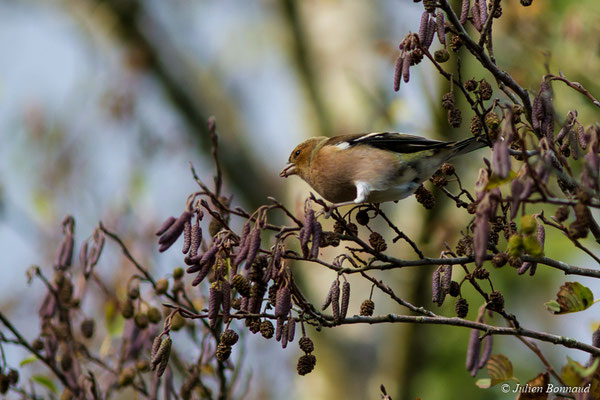 Pinson des arbres (Fringilla coelebs) (mâle adulte) (Pontivy (56), France, le 08/11/2017)