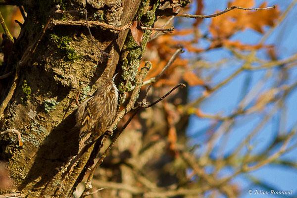 Grimpereau des jardins (Certhia brachydactyla) (Pontivy (65), France, le 02/12/2017)
