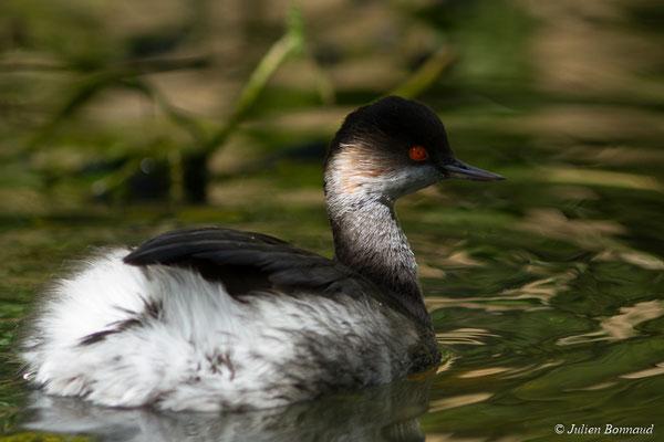 Grèbe à cou noir (Podiceps nigricollis) (adulte en plumage internuptial) (parc animalier des Pyrénées, France, le 03/10/2017)