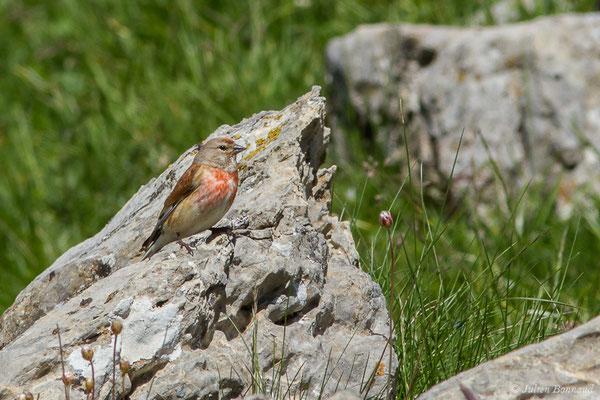 Linotte mélodieuse (Linaria cannabina) (mâle adulte) (Col de Peyrelue, Laruns (64), France, le 22/06/2019)