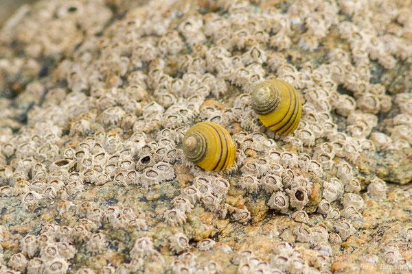 Bigorneau – Littorina littorea (Linnaeus, 1758), (Locmariaquer (56), France, le 05/07/2021)