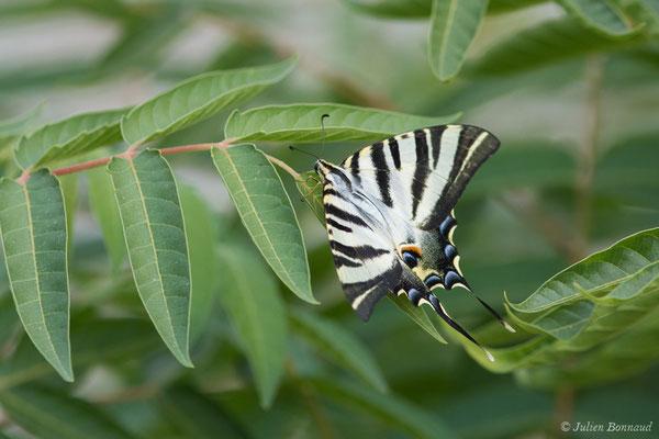Voilier blanc (Iphiclides feisthamelii) (Évora, (Algarve), Portugal, le 05/09/2018)