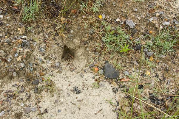 Lapin de garenne – Oryctolagus cuniculus (Linnaeus, 1758), (grattis) (Pontonx (40), France, le 23/06/2021)