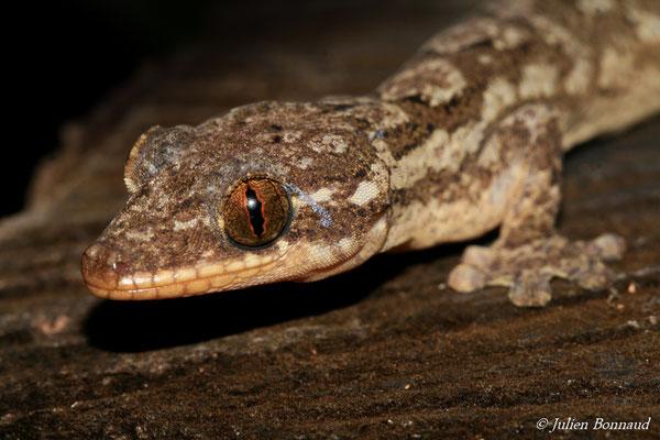 Gecko à pattes de canard (Thecadactylus rapicauda) (adulte) (Montagne des singes, Kourou, le 27/06/2015)