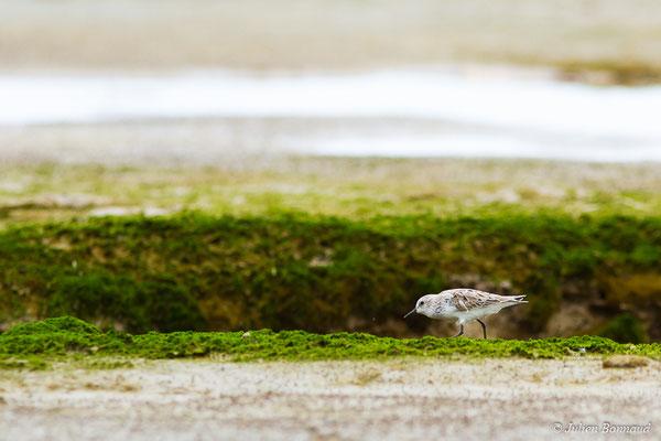 Bécasseau sanderling (Calidris alba) (adulte, plumage internuptial)  (Route des plages, Remire-Montjoly, Guyane, le 29/03/2017)