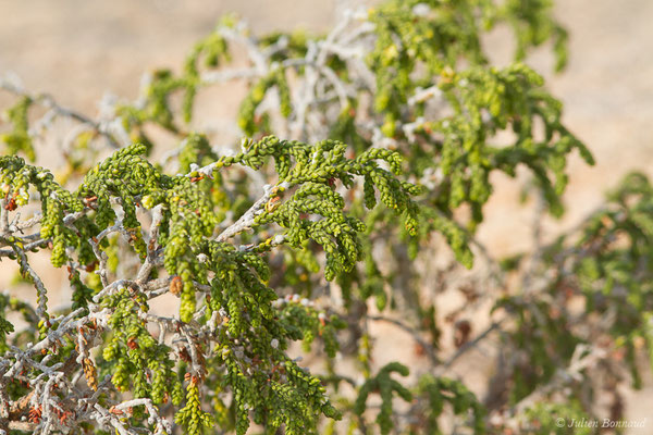 Passerine hérissée (Thymelaea hirsuta)