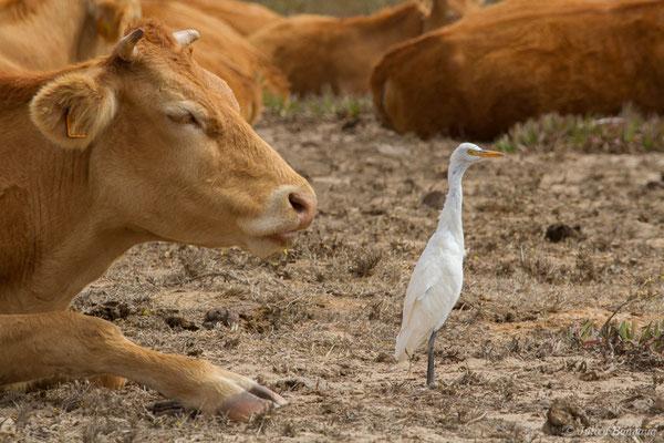 Héron garde-boeufs – Bubulcus ibis (Linnaeus, 1758), (Vila do Bispo, (Algarve), Portugal, le 03/09/2018)
