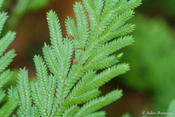 Selaginella conduplicata (Saut Sonnelle, Maripassoula, le 09/09/2014)