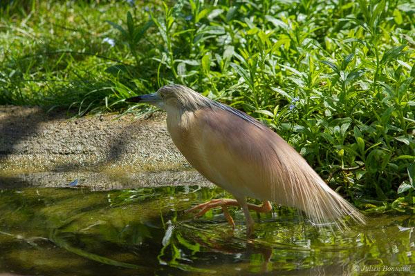Crabier chevelu (Ardeola ralloides) (adulte en plumage nuptial) (Parc animalier des Pyrénées, Argelès-Gazost (65), France, le 15/07/2018)