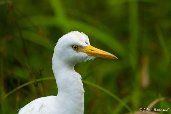 Héron garde-boeufs (Bubulcus ibis) (adulte) (barrage de Petit-Saut, Kourou, le 13/12/2016)