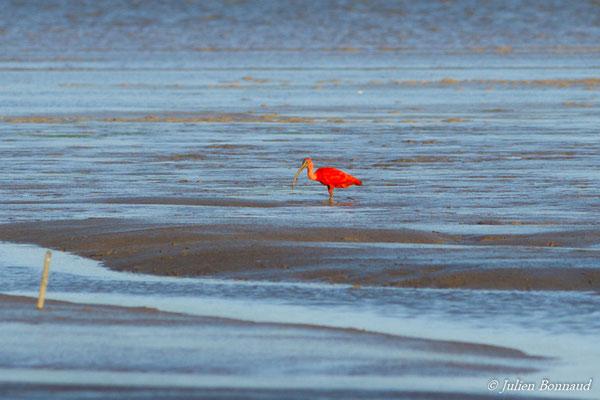 Ibis rouge (Eudocimus ruber) (adulte) (Plage des brésiliens, Remire-Montjoly, le 10/07/2016)