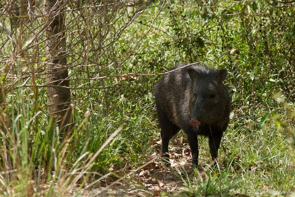 Pécari à collier (Pecari tajacu) (Zoo de Guyane, Montsinéry, le 03/09/2017)