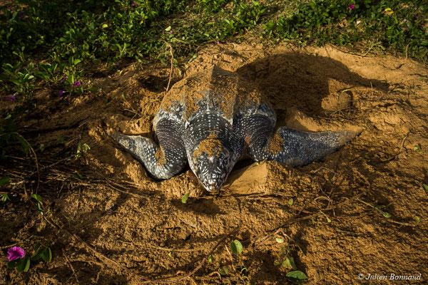 Tortue luth (Dermochelys coriacea) (Plage des Salines, Remire-Montjoly, le 04/06/2017)
