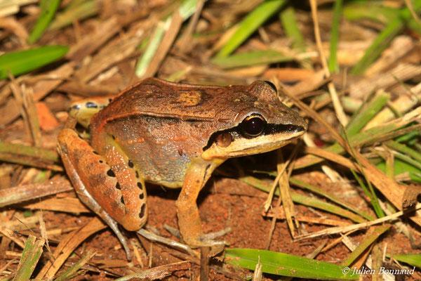 Leptodactyle à lèvres blanches (Leptodactylus sp.5 aff. Mystaceus) (sentier du Rorota, Remire-Montjoly, le 13/07/2015)