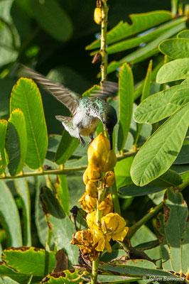 Ariane de linné (Chionomesa fimbriata) (marais Leblond, Cayenne, le 25/09/2017)