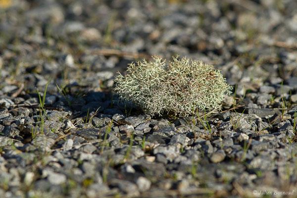 Cladonia portentosa (Saint-Faust (64), France, le 08/01/2020)