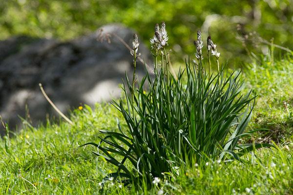 Asphodèle blanc (Asphodelus albus) (Etsaut (64), France, le 06/05/2019)