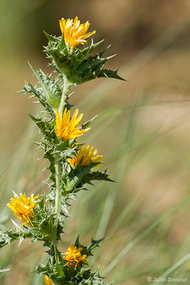 Scolyme d'Espagne ou Chardon d'Espagne (Scolymus hispanicus) (Belvédère-Campomoro (2A), France, le 08/09/2019)