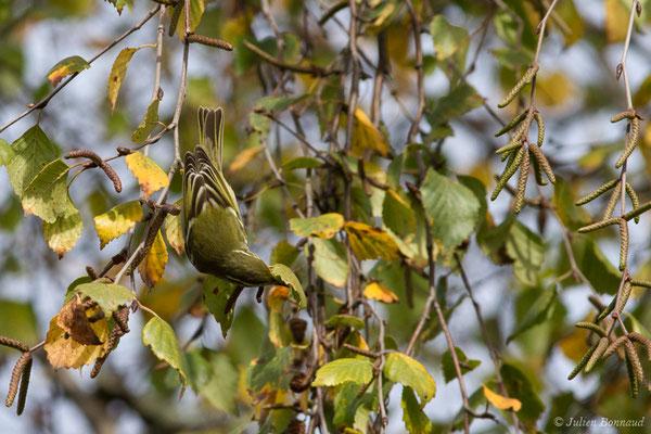 Pouillot à grands sourcils (Phylloscopus inornatus) (Hélioparc, Pau (64), France, le 18/12/2018)