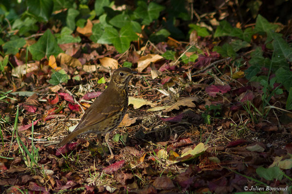 Grive musicienne (Turdus philomelos) (adulte) (Maison de la Baie de Saint-Brieuc, Hillion (22), France, le 24/11/2017)