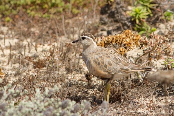 Pluvier guignard – Charadrius morinellus Linnaeus, 1758, (Sagres (Vila do Bispo), (Algarve), Portugal, le 03/09/2018)