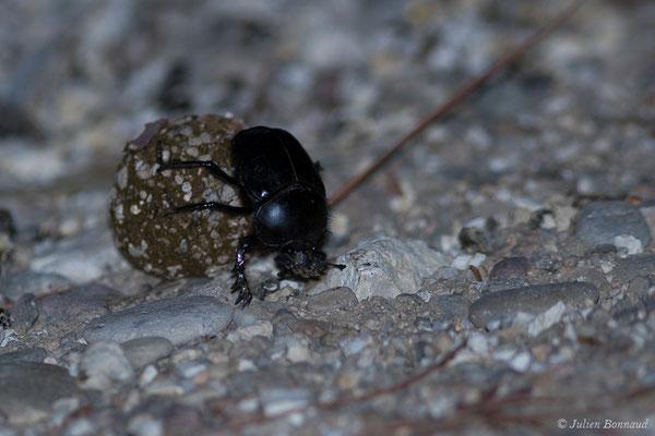 Bousier sacré ou Scarabée sacré (Scarabaeus sacer) (Parque Natural de la Sierra de Andújar (Andalousie), Espagne, le 10/08/2020)