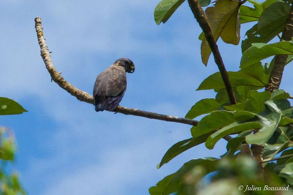 Pione violette (Pionus fuscus) (adulte) (Iracoubo, le 12/07/2016)