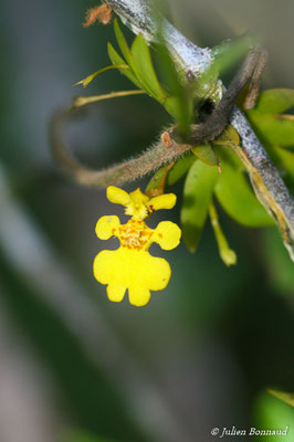 Erycina pusilla (Saut Sonelle, Maripassoula, le 09/09/2014)