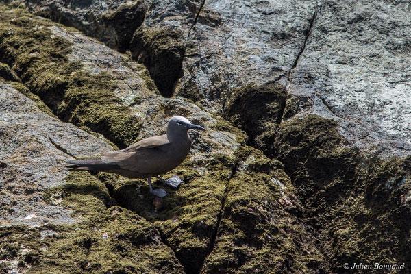 Noddi brun (Anous stolidus) (Île du Grand Connétable, Guyane, le 09/08/2017)