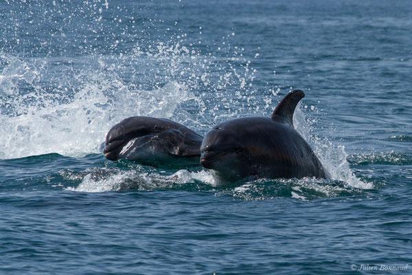 Grand dauphin commun ou Grand Dauphin – Tursiops truncatus (Montagu, 1821), Algarve (Portugal), le 31/08/2018)