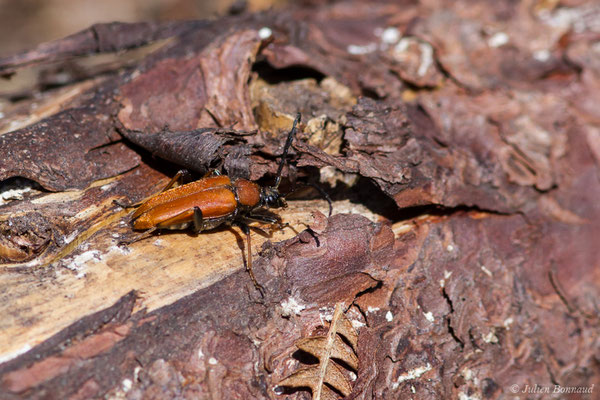 Lepture rouge (Stictoleptura rubra) (Le Pian-Médoc (33), France, le 12/07/2018)