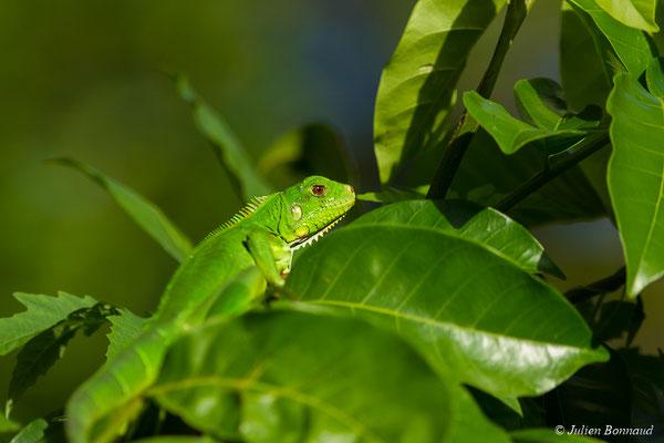Iguane vert (Iguana iguana) (juvénile) (Dégrad des Cannes, Remire-Montjoly, Guyane, le 29/03/2017)