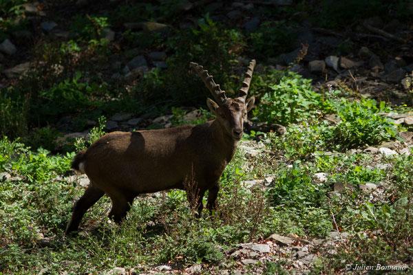 Bouquetin des Alpes – Capra ibex (Pallas, 1777), (mâles adultes) (Parc animalier des pyrénées, Argelès-Gazost (65), France, le 01/04/2018)