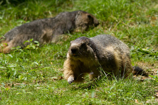 Marmotte (Marmotta marmotta) (Parc animalier des pyrénées, Argelès-Gazost (65), France, le 15/07/2018)