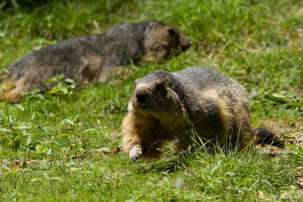Marmotte des Alpes, Marmotte – Marmotta marmotta (Linnaeus, 1758), (Parc animalier des pyrénées, Argelès-Gazost (65), France, le 15/07/2018)