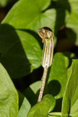 Gouet à capuchon (Arisarum vulgare) (Presqu'île de Giens, Hyères (83), France, le 15/02/2020)