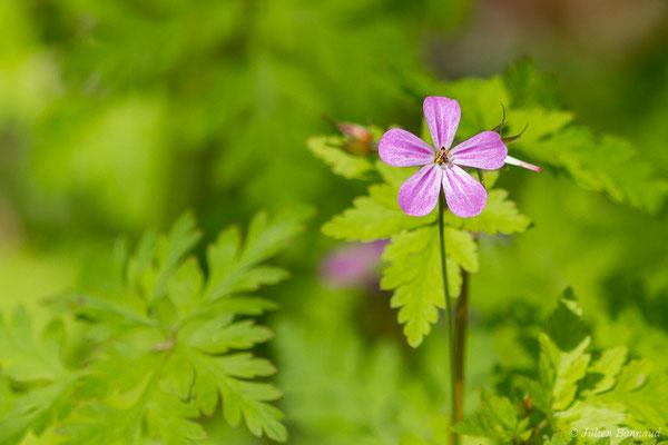 Herbe à Robert (Geranium robertianum) (Oloron-Sainte-Marie (64), France, le 21/04/2021)