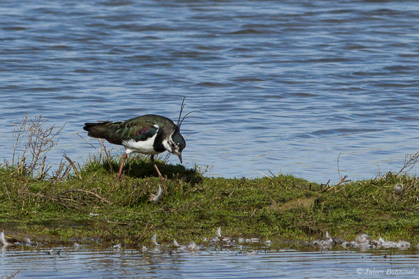 Vanneau huppé – Vanellus vanellus (Linnaeus, 1758), (Réserve ornithologique du Teich (33), France, le 15/02/2021)