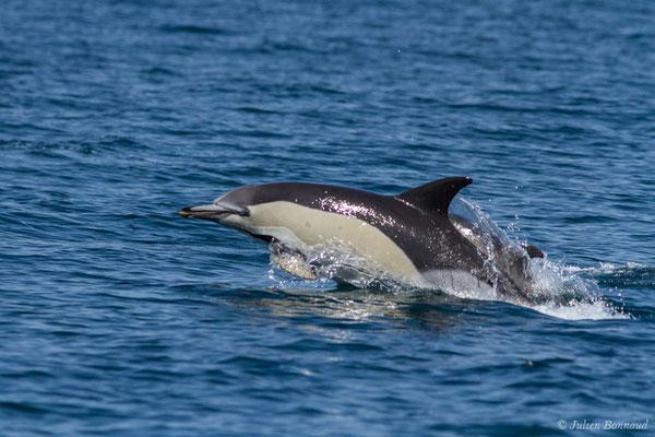 Dauphin commun, Dauphin commun à bec court ou Dauphin commun à bec long – Delphinus delphis Linnaeus, 1758, (Sagres (Vila do Bispo), Algarve (Portugal), le 31/08/2018)