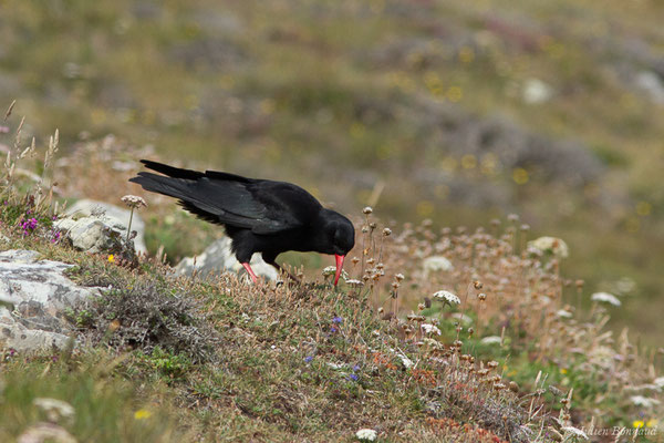 Crave à bec rouge – Pyrrhocorax pyrrhocorax (Linnaeus, 1758), (Pointe de Dinan, Crozon (29), France, le 08/07/2021)