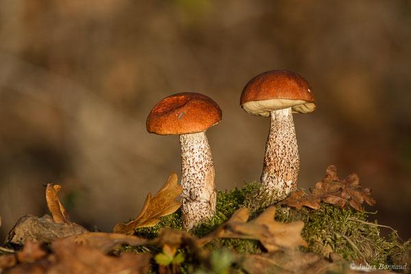 Bolet orangé des chênes (Leccinum quercinum) (Parbayse (64), France, le 18/10/2020)