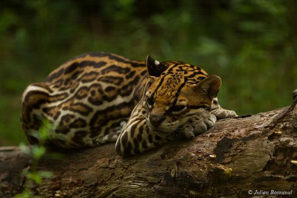 Ocelot (Leopardus pardalis) (Zoo de Guyane, Montsinéry, le 22/04/2017)