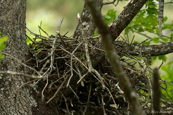 Milan noir (Milvus migrans) (nid) (Pihourc, Saint-Godens (31), France, le 16/05/2019)