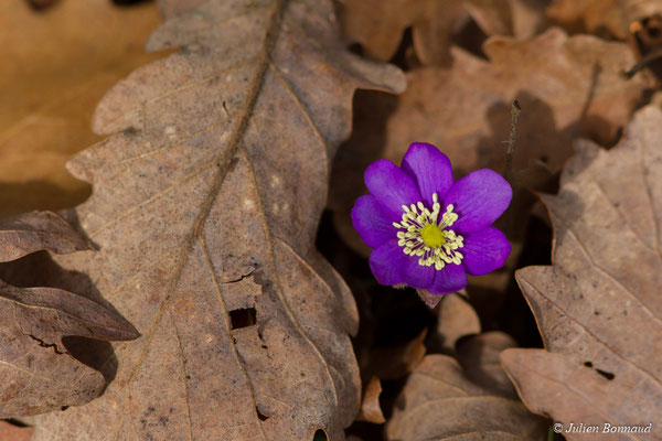 Anémone hépatique (Anemone hepatica) (Agos-vidalos (65), France, le 02/03/2018)