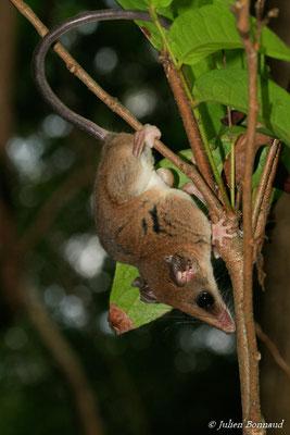 Opossum-souris délicat de Pinheiro (Marmosops pinheiroi)