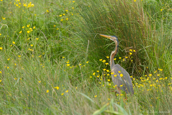 Héron pourpré (Ardea purpurea) (Braud-et-Saint-Louis (33), France, le 09/05/2019)